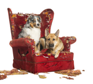 German and Australian Shepherd and Poodle on a destroyed armchair, isolated on white